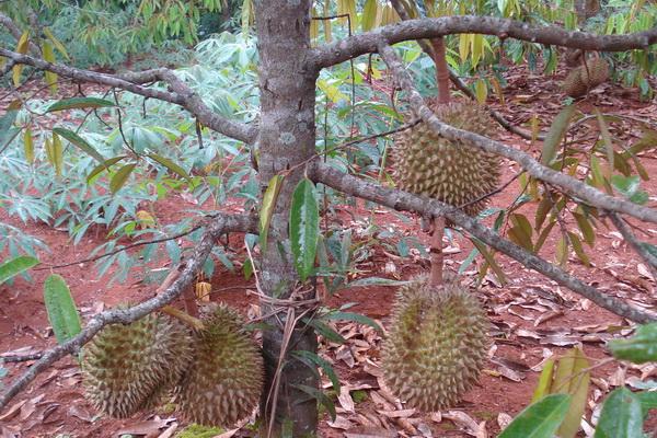 durianploso