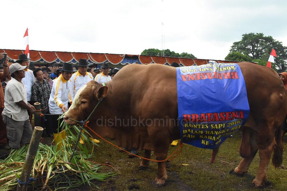 Sapi bernama Bratasena menjuarai Kontes Sapi Tingkat Kabupaten Karanganyar Tahun 2016, dengan berat 1.300 Kilogram.